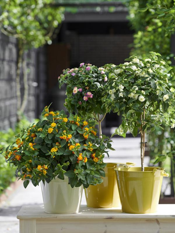 Wandelröchsen Pflanzenfreude.de