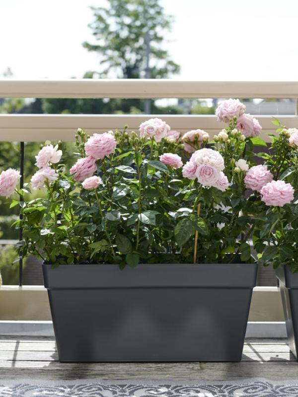 Gartenrose Pflanzenfreude.de
