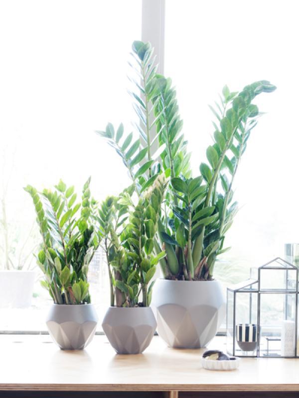 Zamioculcas - Pflanzenfreude.de