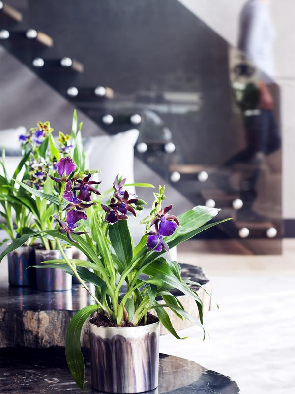 zygopetalum pflanzenfreude. Black Bedroom Furniture Sets. Home Design Ideas