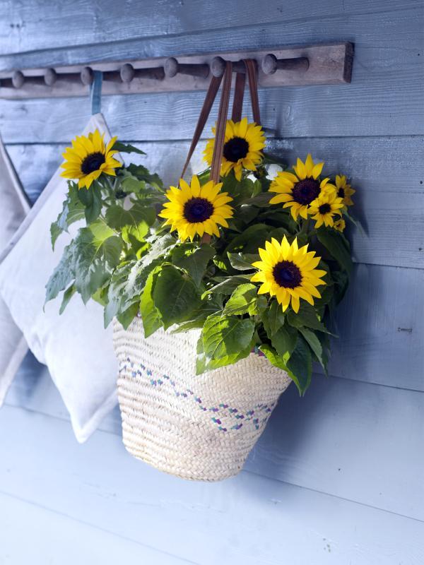 Sonnenblum Pflanzenfreude.de