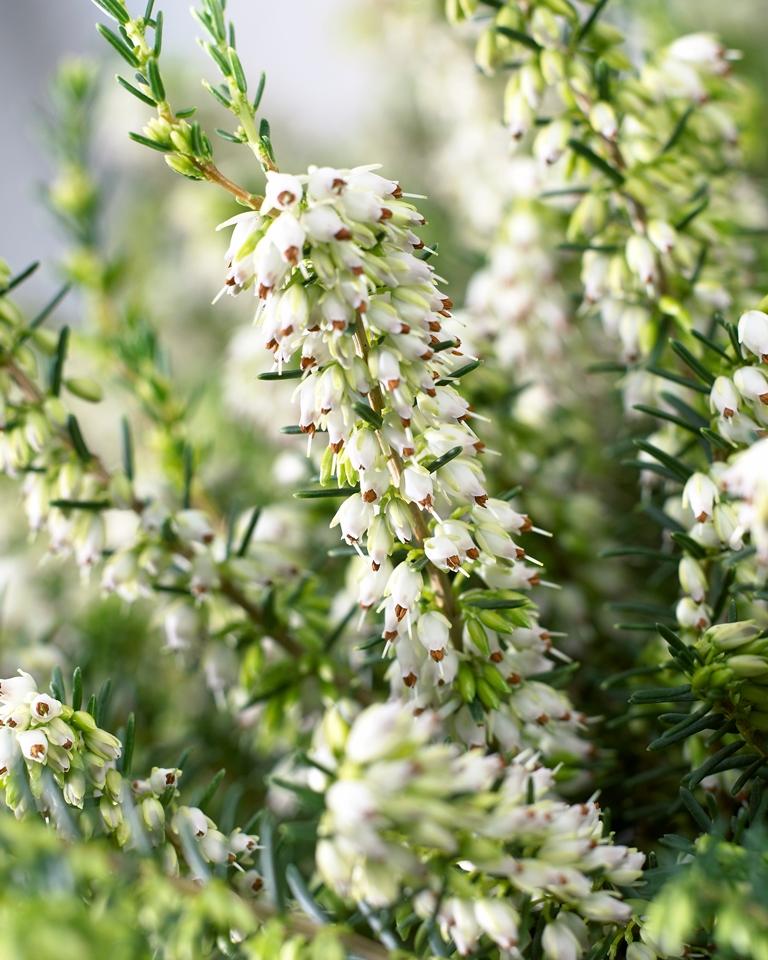 Winterheide ist die gartenpflanze im monat januar for Evergreen pflanzen